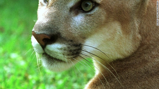 American wildcats, like this cougar at the Southern Florida Rehabilitation Center, can be found across the country.