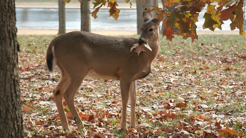 Once endangered, white-tailed deer are now ubiquitous throughout the United States, even occasionally being spotted near the National Mall in Washington, D.C. (pictured).