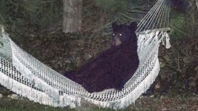 Watch bear relax in man's hammock