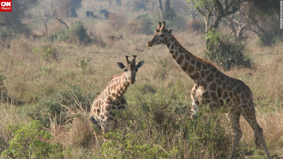 "<a href=""http://ireport.cnn.com/docs/DOC-1139316"">Heidi Meadows</a> describes Uganda's <a href=""http://www.murchisonfallsnationalpark.com/"" target=""_blank"">Murchison Falls National Park</a> as unspoiled. She says a ""must-do"" here is taking a ride down the Nile River. ""Seeing elephants, crocodiles and hippos from that vantage point is an unequaled experience,"" she says. The park is known for its diverse wildlife, which has started to recover from a massacre by poachers and troops under the rule of former Ugandan President Idi Amin."