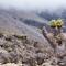 kilimanjaro - lobelias