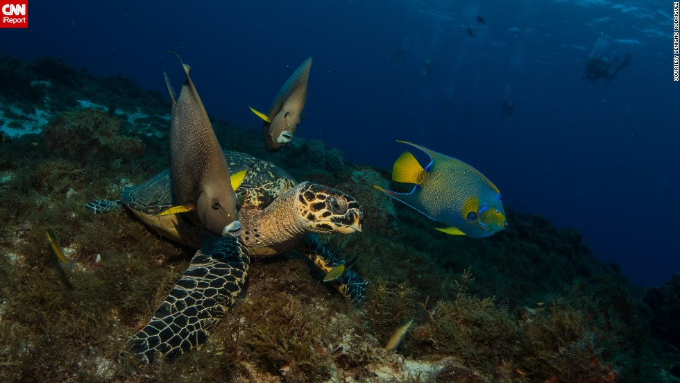 "<a href=""http://ireport.cnn.com/docs/DOC-1139050"">Three angelfish and a hawksbill sea turtle </a>make an odd team as they travel together in Cozumel, Mexico, a popular diving destination for underwater photographers."