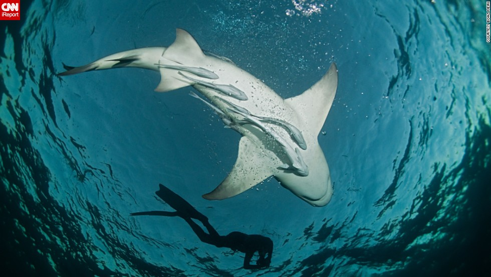 "CNN iReporters shared their best photos from under the sea. Here, a diver swims with a lemon shark at <a href=""http://ireport.cnn.com/docs/DOC-1140657"">Tiger Beach</a> in Nassau, Bahamas. This is a popular location for veteran divers looking to mingle with sharks without a cage."