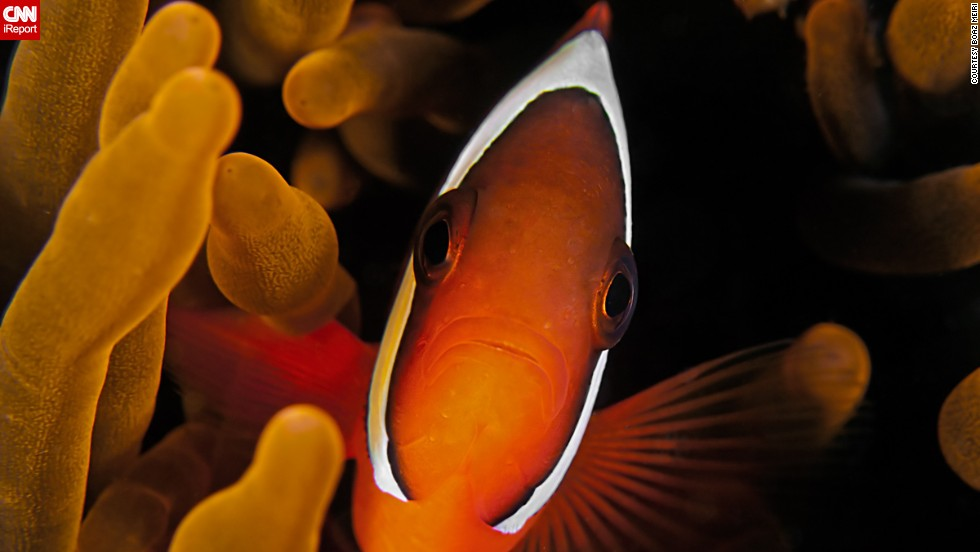 "<a href=""http://ireport.cnn.com/docs/DOC-1140659"">Meiri</a> said, ""Look for the small details when you dive. There are a lot of hidden creatures in the oceans."" He captured this tomato clown fish in 2011 during a dive in Dauin, Philippines."