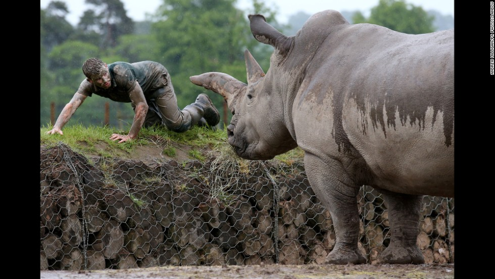 Graeme Alexander, a keeper at the Blair Drummond Safari Park in Stirling, Scotland, passes a rhinoceros at the park Wednesday, June 4, as he trains for a Tough Mudder obstacle race.