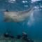 panoramic manta ray