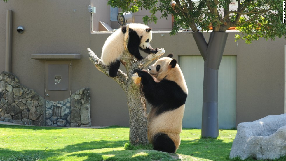 Shirahama's zoo has an unusually high number of pandas, which are notoriously difficult to breed in captivity. References to the local celebs can be found all over the town.