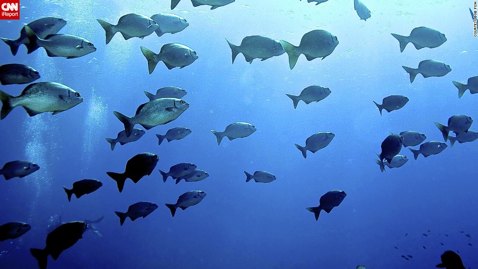 "<a href=""http://ireport.cnn.com/docs/DOC-1142461"">Bob Fish</a> (yes, that's his real name) has been photographing his underwater adventures since 1994 and can't imagine stopping. In this shot, he caught a school of Bermuda chubs traveling together toward shallow water."