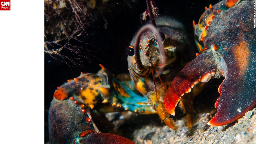 "<a href=""http://ireport.cnn.com/docs/DOC-1141709"">Jorge Gonzalez</a> said, ""Relax and be patient. You will be rewarded at the end with a beautiful photograph."" Gonzalez photographed this lobster 45 feet underwater in Groton, Connecticut."