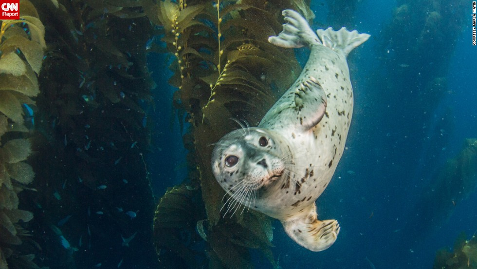 "A playful harbor seal pup waves hi to <a href=""http://ireport.cnn.com/docs/DOC-1142551"">Marla Matin </a>near San Clemente Island in California."