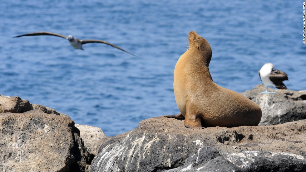 The extraordinary flora and fauna of Ecuador's Galapagos Islands inspired Charles Darwin's theory of evolution.