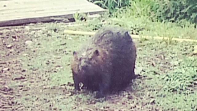 pkg beaver attack_00000803.jpg