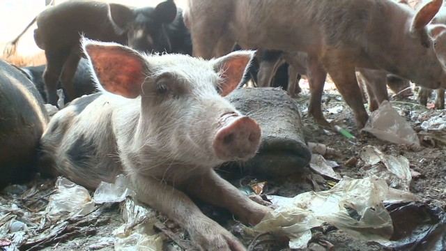 Pig farming revival