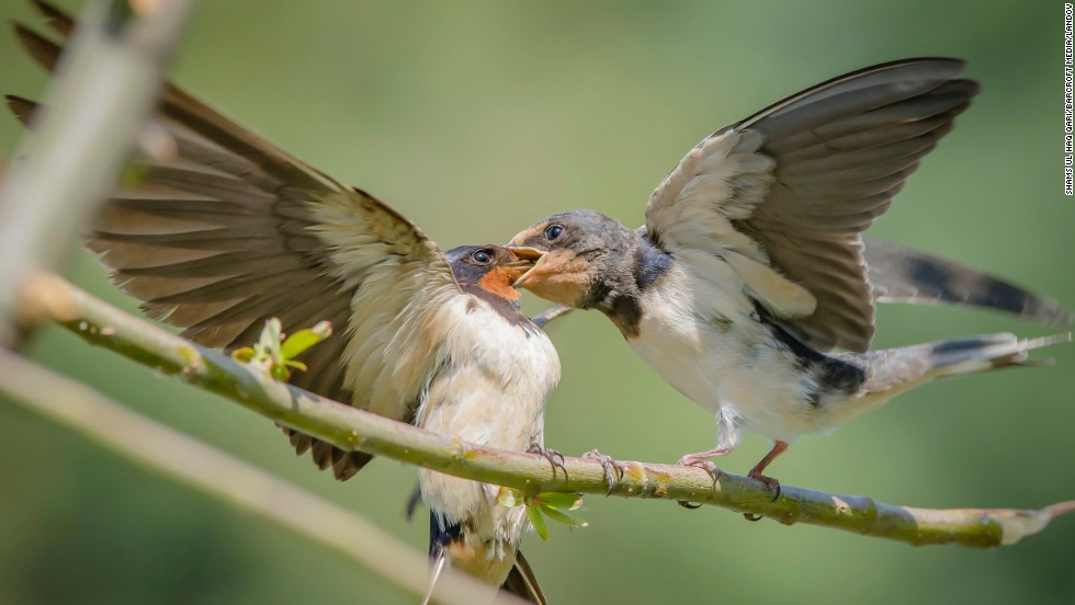 A barn swallow feeds its hungry chick in Srinagar, India, on Tuesday, June 24.