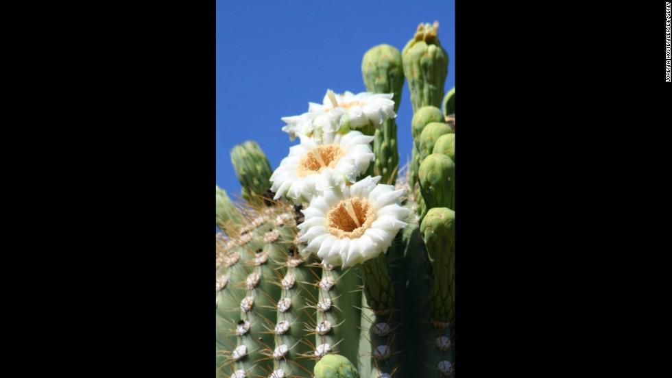 Arizona: Saguaro Cactus Blossom