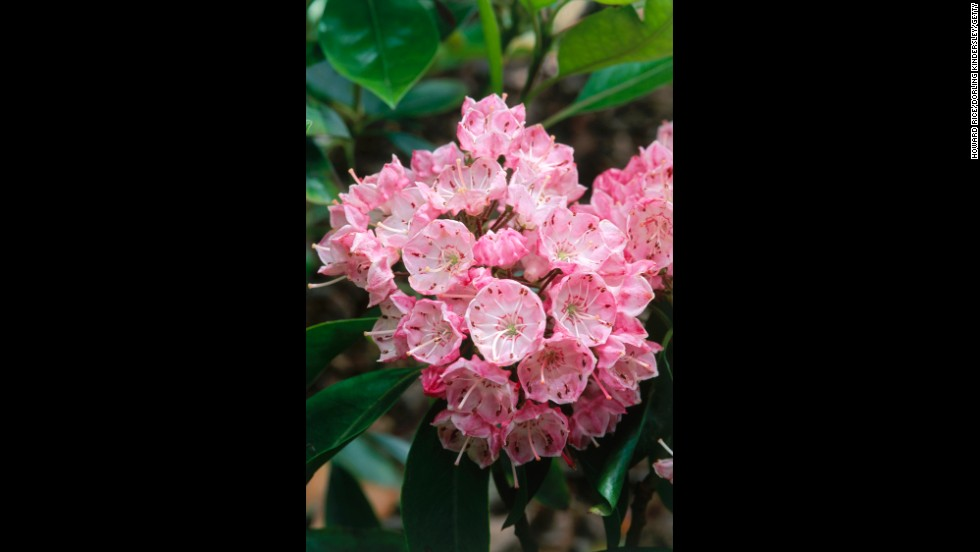 Connecticut: Mountain Laurel