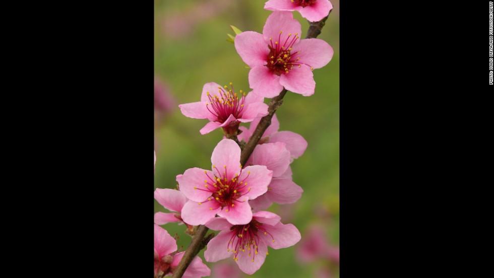 Delaware: Peach Blossom