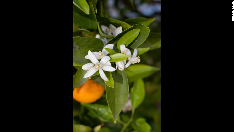 Florida: Orange Blossom