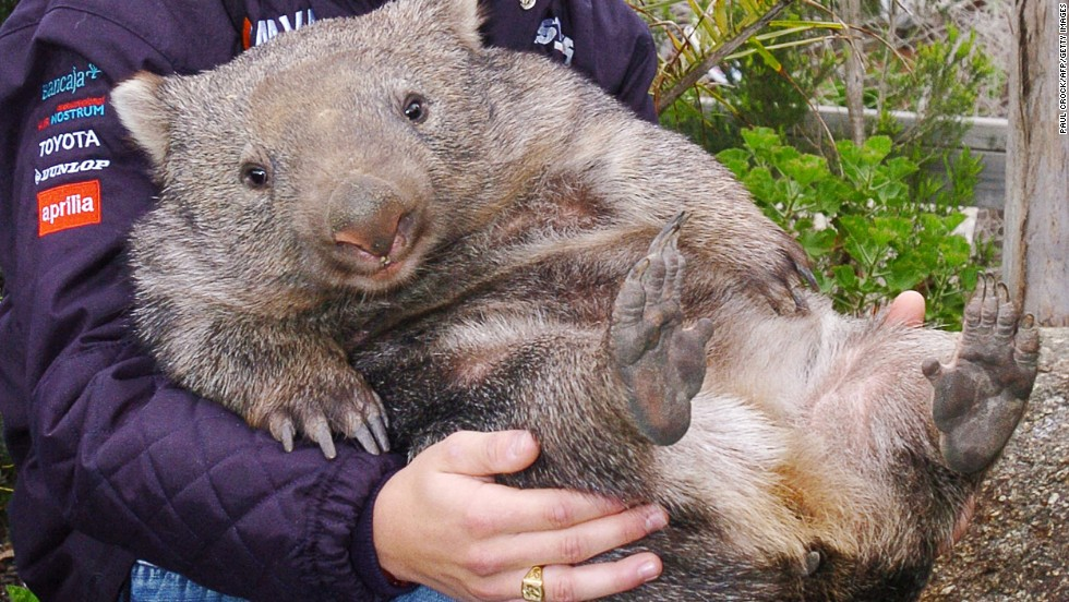 At 28 years old and almost 84 pounds, Patrick the wombat of Australia's Ballarat Wildlife Park is the oldest and largest Common Wombat known in captivity. He's a local celebrity (here in younger, smaller days) who will be honored on October 22 for Australia's 10th annual Wombat Day.
