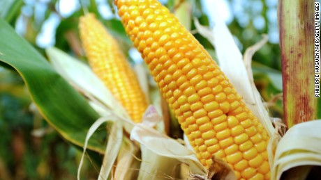 """A file picture taken on September 28, 2012 shows corn in a field in Godewaersvelde, northern France. On March 15, 2014 the French Ministry of Agriculture banned by an order published in the Official Journal of marketing the use and cultivation of """"MON 810"""", a variety of genetically modified maize (corn) developed by the US agro-chemicals Monsanto Company. AFP PHOTO / PHILIPPE HUGUEN"""