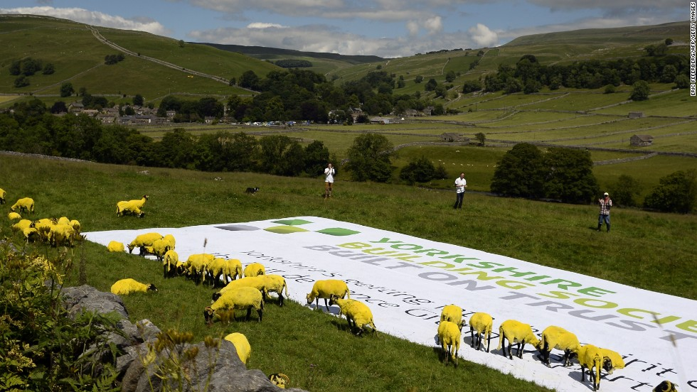 Sheep painted yellow in honor of the tour could be seen along the 190.5km route between Leeds and Harrogate.