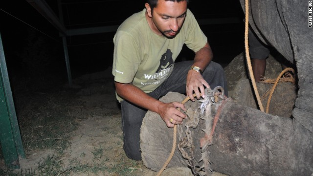 Wildlife SOS rescues Raju the elephant after being chained for 50 years.