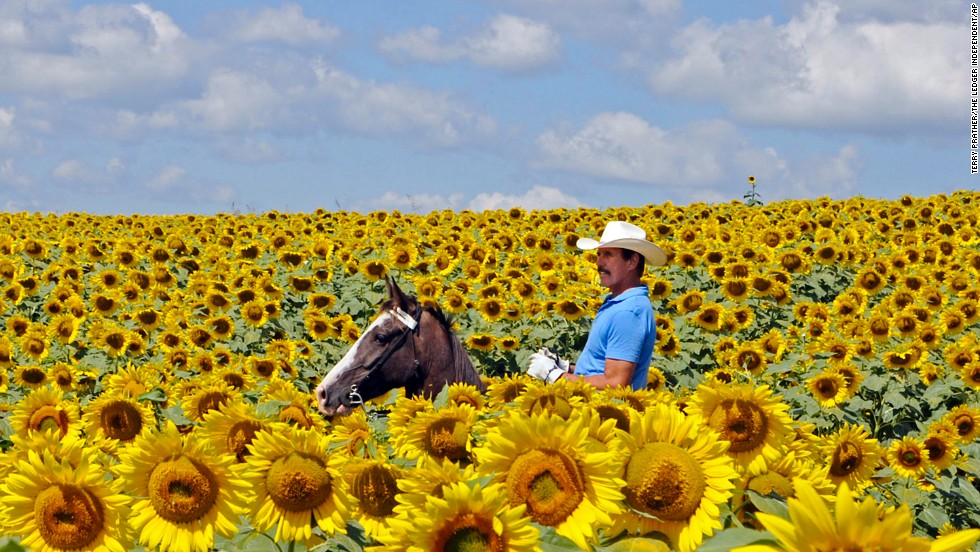 Bob Grutza rides on horseback through a field of sunflowers on his property near Maysville, Kentucky, on Tuesday, July 15.