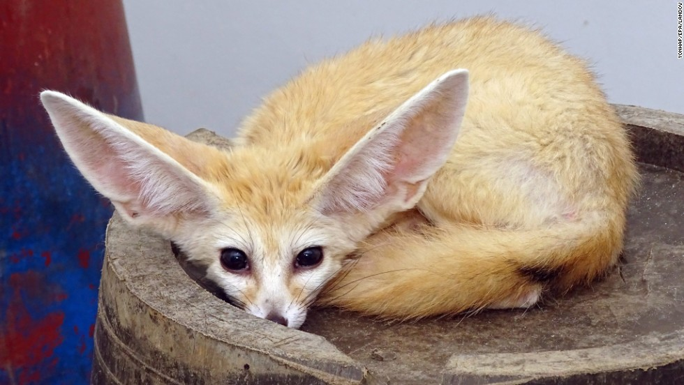 A desert fox is seen at a park in Ulsan, South Korea, on Monday, July 14. The animal was confiscated from a smuggler who was detained for illegally bringing the rare animal into the country from Sudan.
