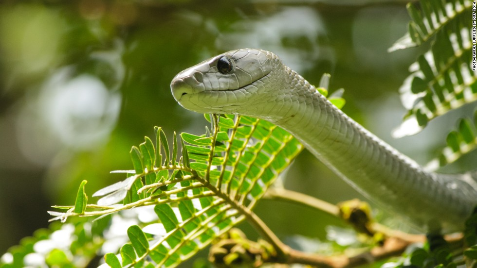 South African writer, producer and director Kira Ivanoff offers a compelling insight into the world of the highly venomous snake.