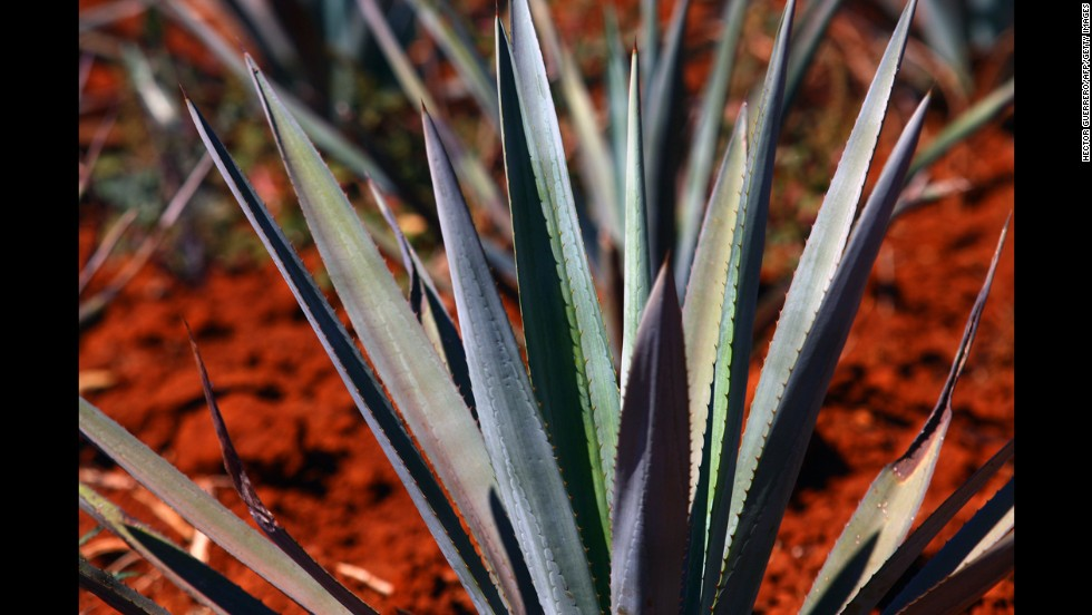 """A more exotic sweetener, <a href=""""http://ndb.nal.usda.gov/ndb/foods/show/6345"""" target=""""_blank"""">agave nectar</a> is created from the agave plant that is native to southern and western United States and parts of South America. It contains fewer carbs than most other sweeteners and contains vitamin C. Calories per tablespoon: 63."""