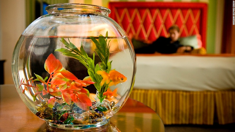 Minutes, possibly even seconds, of entertainment courtesy of a stand-in pet goldfish at Kimpton Hotels & Restaurants.