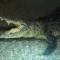 Dubai mall aquarium and underwater zoo king croc
