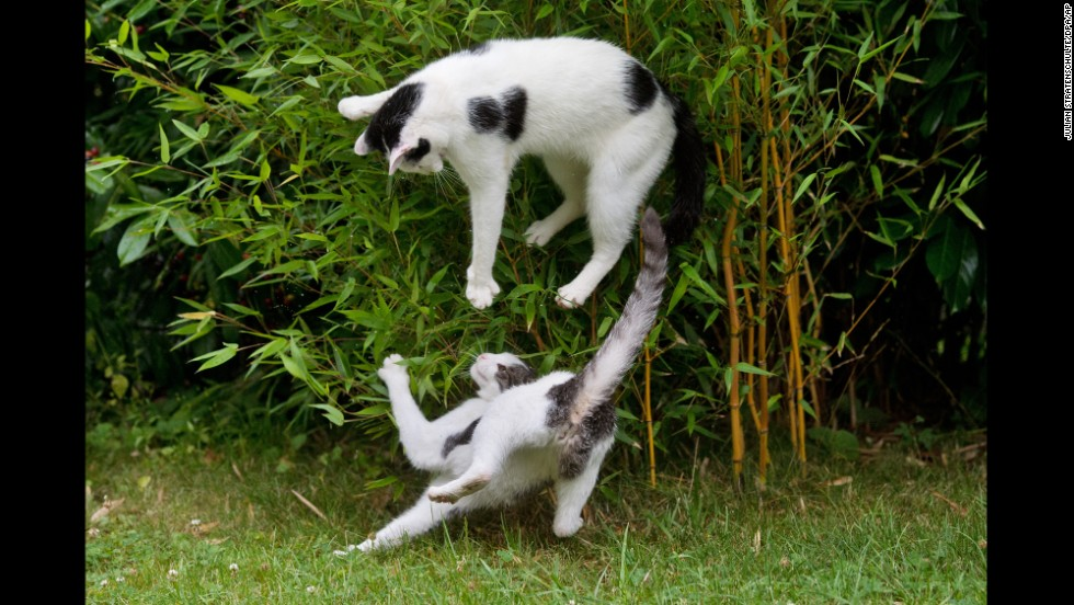 Cats play on a meadow in Sehnde, Germany, on Saturday, July 26.