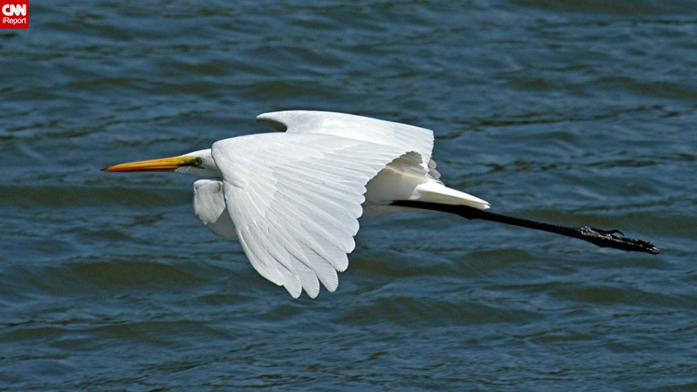 "The grace of this great egret caught <a href=""http://ireport.cnn.com/docs/DOC-1155903 "">Donald Barrick</a>'s eye while he was visiting the Merritt Island National Wildlife Refuge in Titusville, Florida. Birds, he said, ""are dainty, yet sometimes aggressive; graceful, but frequently clumsy -- much like us!"""