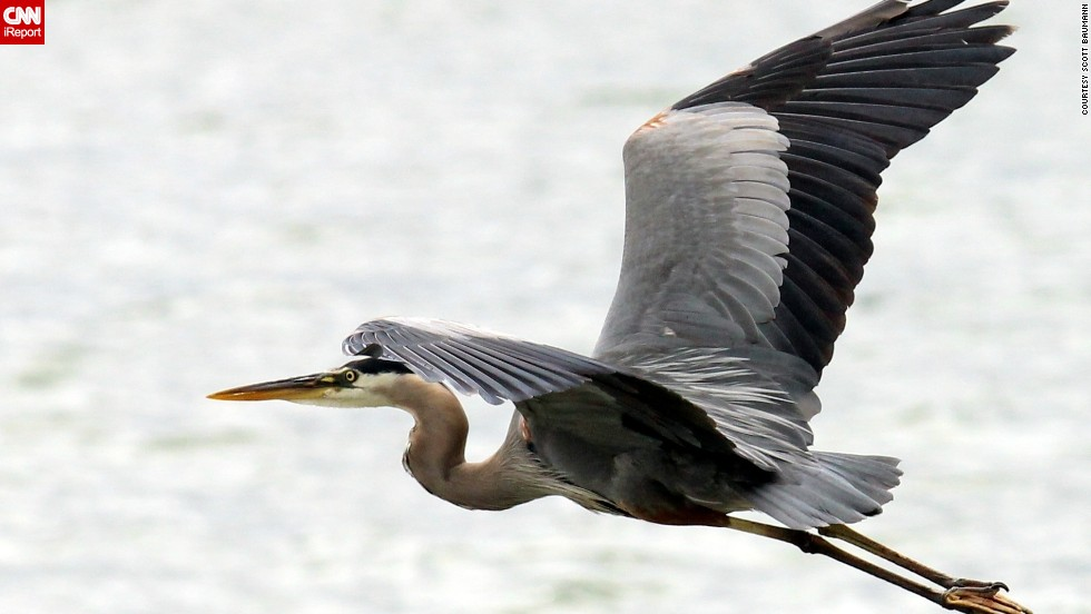 "The best bird photos ""require good preparation and a lot of luck,"" said <a href=""http://ireport.cnn.com/docs/DOC-1156317"">Scott Bauman</a>.  Here, a great blue heron soars over Gun Lake in Shelbyville, Michigan."