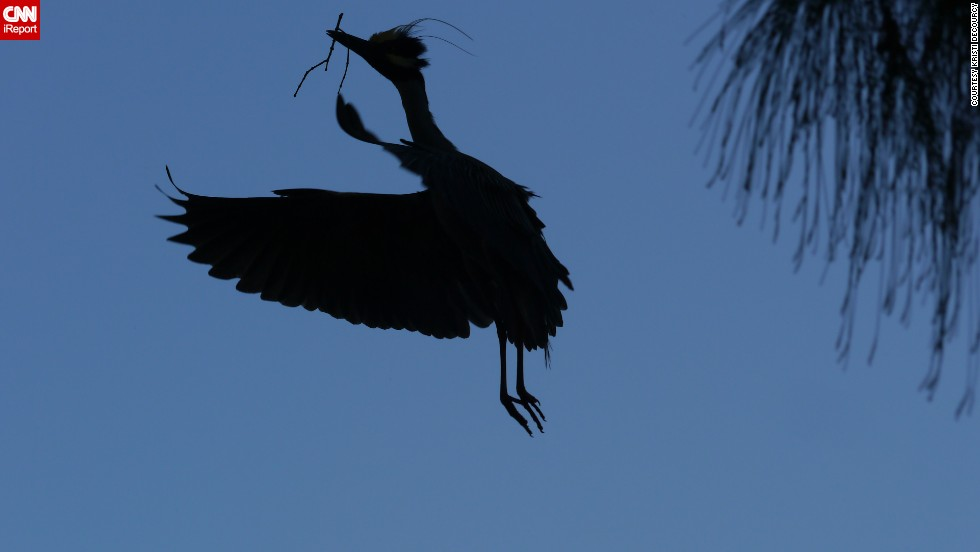 "A yellow-crowned night-heron flies back to the nest with a stick to present to his mate. Longtime bird watcher <a href=""http://ireport.cnn.com/docs/DOC-1155074 "">Kristi DeCourcy</a> watched the nest-building scene for several minutes from a restaurant parking lot in Matlacha, Florida."