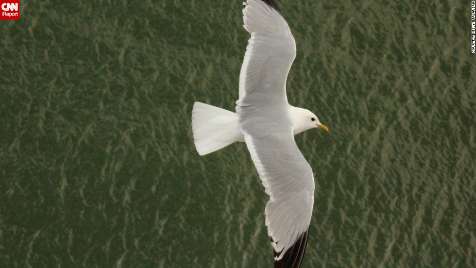 """""""Bird watching is always an unpredictable treat, especially when you have your camera handy,"""" said <a href=""""http://ireport.cnn.com/docs/DOC-1153994"""">Neslyn Talavera</a>, who photographed this mew gull from her balcony aboard a cruise ship leaving port in Stockholm, Sweden. """"One can appreciate the seagull from above, which is a rather rare sight."""""""