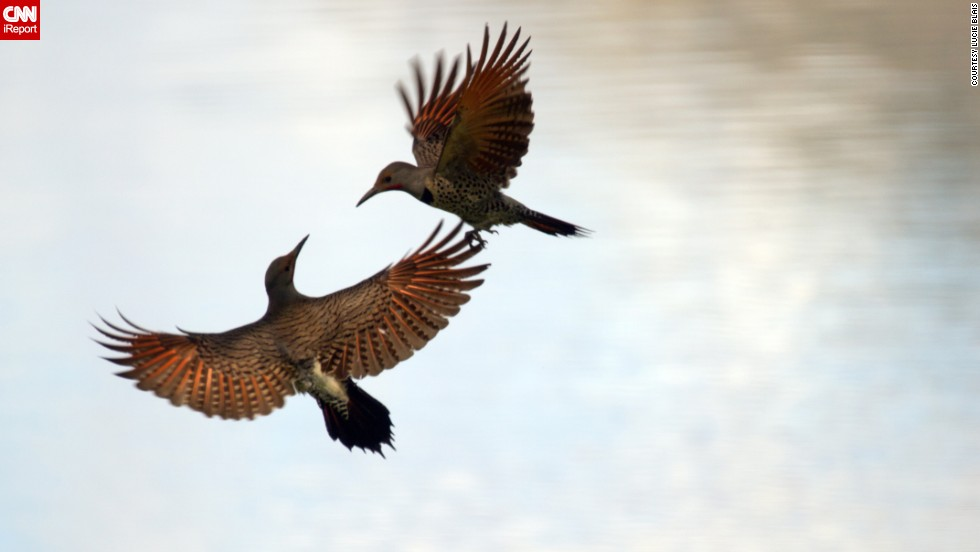 "Two northern flickers, members of the woodpecker family, rendezvous in the sky in Okanagan Valley, British Columbia. ""I like the spirit of the two birds looking at each other, the color of their wings in flight and their interaction,"" said <a href=""http://ireport.cnn.com/docs/DOC-1155144 "">photographer Lucie Blais</a>."