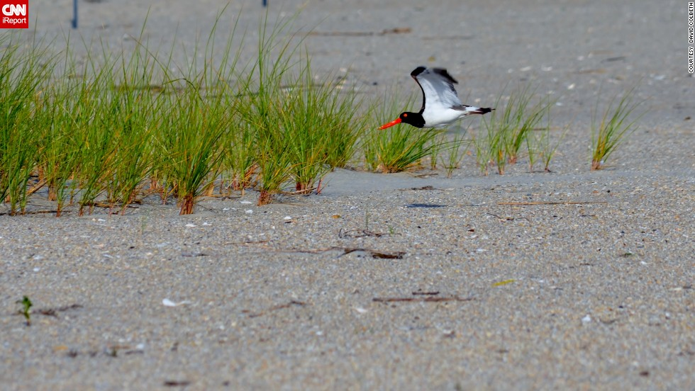 "Cape May, New Jersey, has long been a mecca for birds and their admirers. <a href=""http://ireport.cnn.com/docs/DOC-1156722 "">David Colbeth</a> shot this photo of an American oystercatcher while on a stroll through the Cape May National Wildlife Refuge."