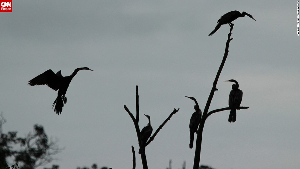 "<a href=""http://ireport.cnn.com/docs/DOC-1154886 "">Oriental darters</a>, sometimes called snakebirds, gather in the evening light at India's Mandagadde Bird Sanctuary. Sujay Govindaraj took this photo during 2014's monsoon season."