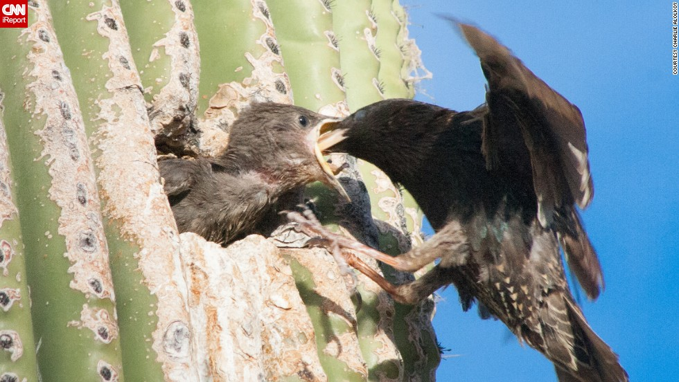 "It's feeding time for a <a href=""http://ireport.cnn.com/docs/DOC-1155717 "">European starling</a> and its chick in a Saguaro cactus burrow in Tucson, Arizona."