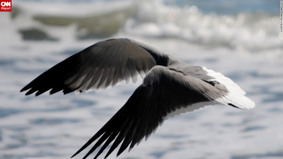 """On an October trip to Myrtle Beach, South Carolina, <a href=""""http://ireport.cnn.com/docs/DOC-1154759"""">Michele Hancock</a> challenged herself to get a shot of the laughing gull in flight over the water. """"It focuses on the the act of flying itself. The curvature, the feathers, its all about the wings and the function that they serve."""""""