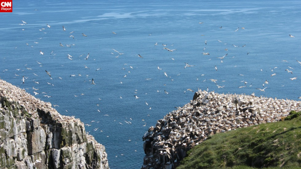 "Cape St. Mary's Ecological Reserve in Newfoundland is a wonderful spot to watch the northern gannets return each summer to dive for fish and raise their young, said <a href=""http://ireport.cnn.com/docs/DOC-1153967"">Sobhana Venkatesan</a>. ""We witness the flurry of activity in slow motion. It's a wondrous sight."""