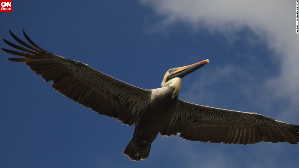"""A <a href=""""http://ireport.cnn.com/docs/DOC-1155015"""">brown pelican</a> spreads his wings between Galveston, Texas, and the Bolivar Peninsula."""