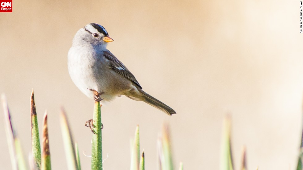 "The white-crowned sparrow is a common sight in the American West. <a href=""http://ireport.cnn.com/docs/DOC-1155720 "">Charlie Alolkoy</a> spotted this one on an early morning walk in his northwest Tucson, Arizona, neighborhood. Click on the double arrows to see more bird photos."