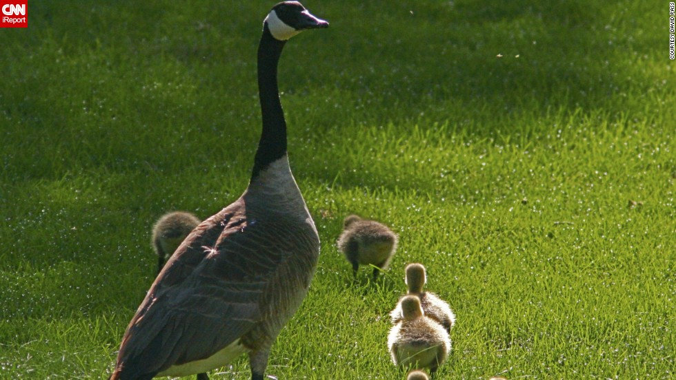 "A mother goose <a href=""http://ireport.cnn.com/docs/DOC-1156465"">watches over her clan</a> in Fort Collins, Colorado. ""She was so protective of her offspring,"" David Pass said, ""craning her neck looking around for potential trouble while her goslings were oblivious and just enjoying their romp through the grass."""