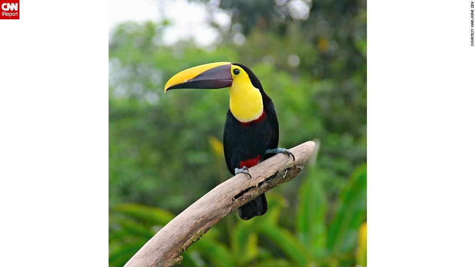 """Black-mandibled toucans were frequent visitors during breakfast at the Lost Iguana resort in Costa Rica when <a href=""""http://ireport.cnn.com/docs/DOC-1157981"""">Marjorie Zen</a> visited in 2012."""