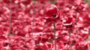 Poppies commemorate WWI British soldiers