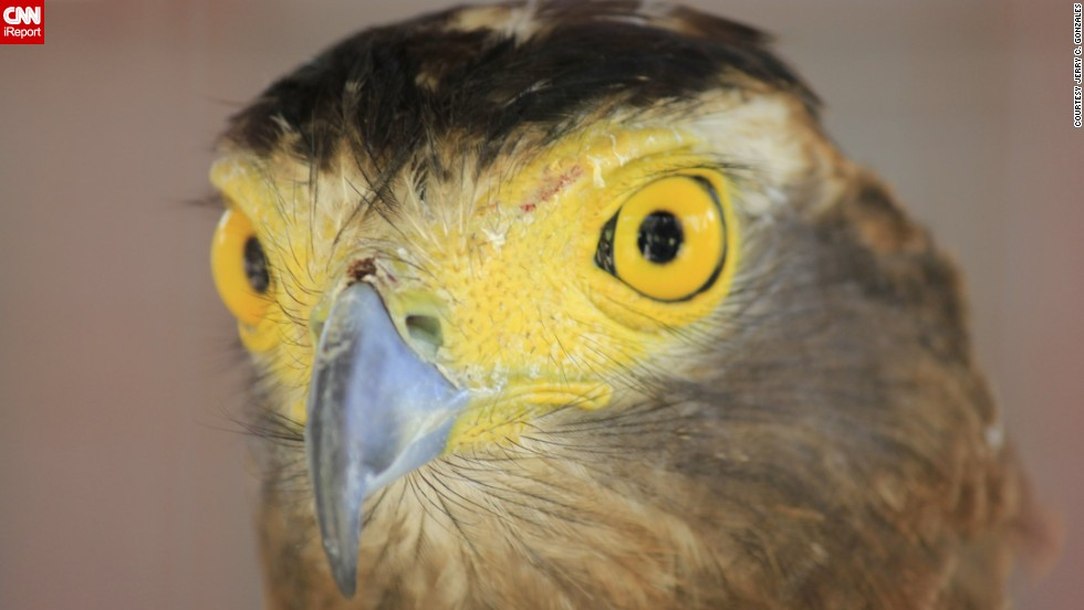 """It took <a href=""""http://ireport.cnn.com/docs/DOC-779543"""">Jerry Gonzales</a> an hour and more than 20 shots to photograph this Philippine serpent eagle's stunning eyes because its head kept moving. He saw the captivating creature on a visit to the Pugo Adventure resort in the Philippines. """"I was even begging the eagle to look at me and smile."""""""