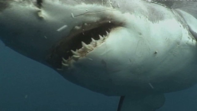 Shark sees a camera and then ...